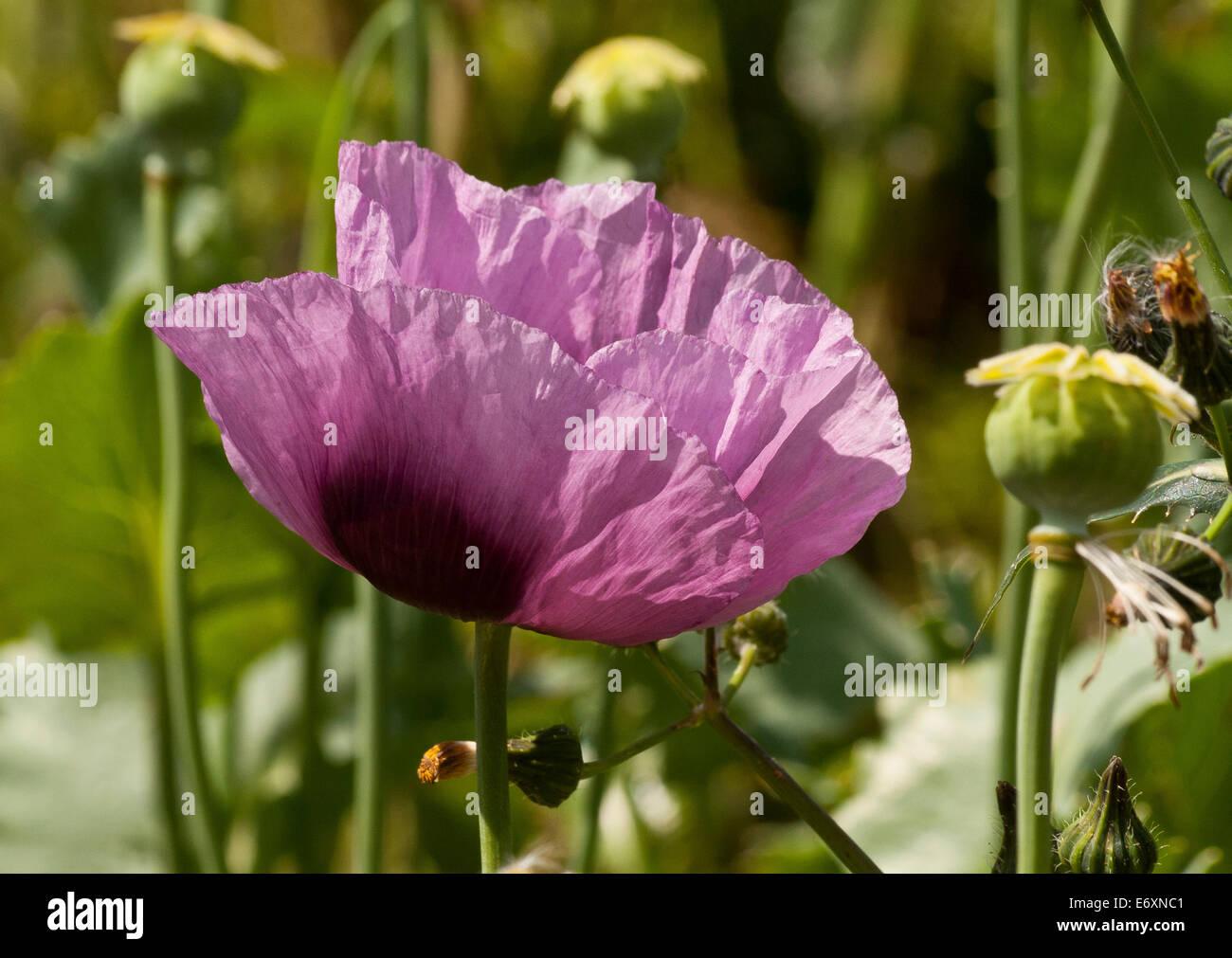 Purple poppy flowers and seed heads stock photos purple poppy lilac papaver somniferum opium poppy head and poppy seed heads stock image mightylinksfo