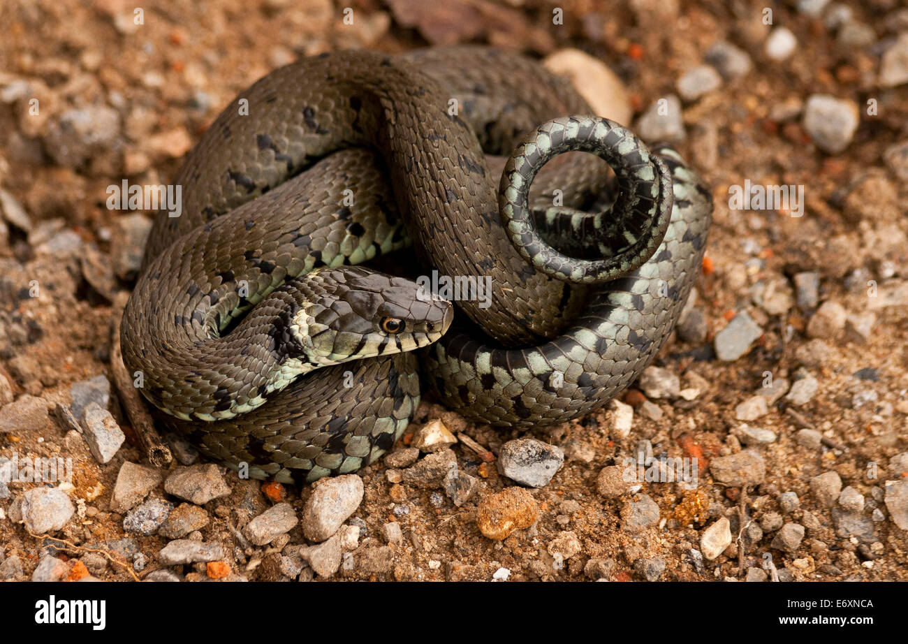 A grass snake (Natrix natrix), of it coiled up, is a Eurasian non-venomous snake. It is often found near water and - Stock Image