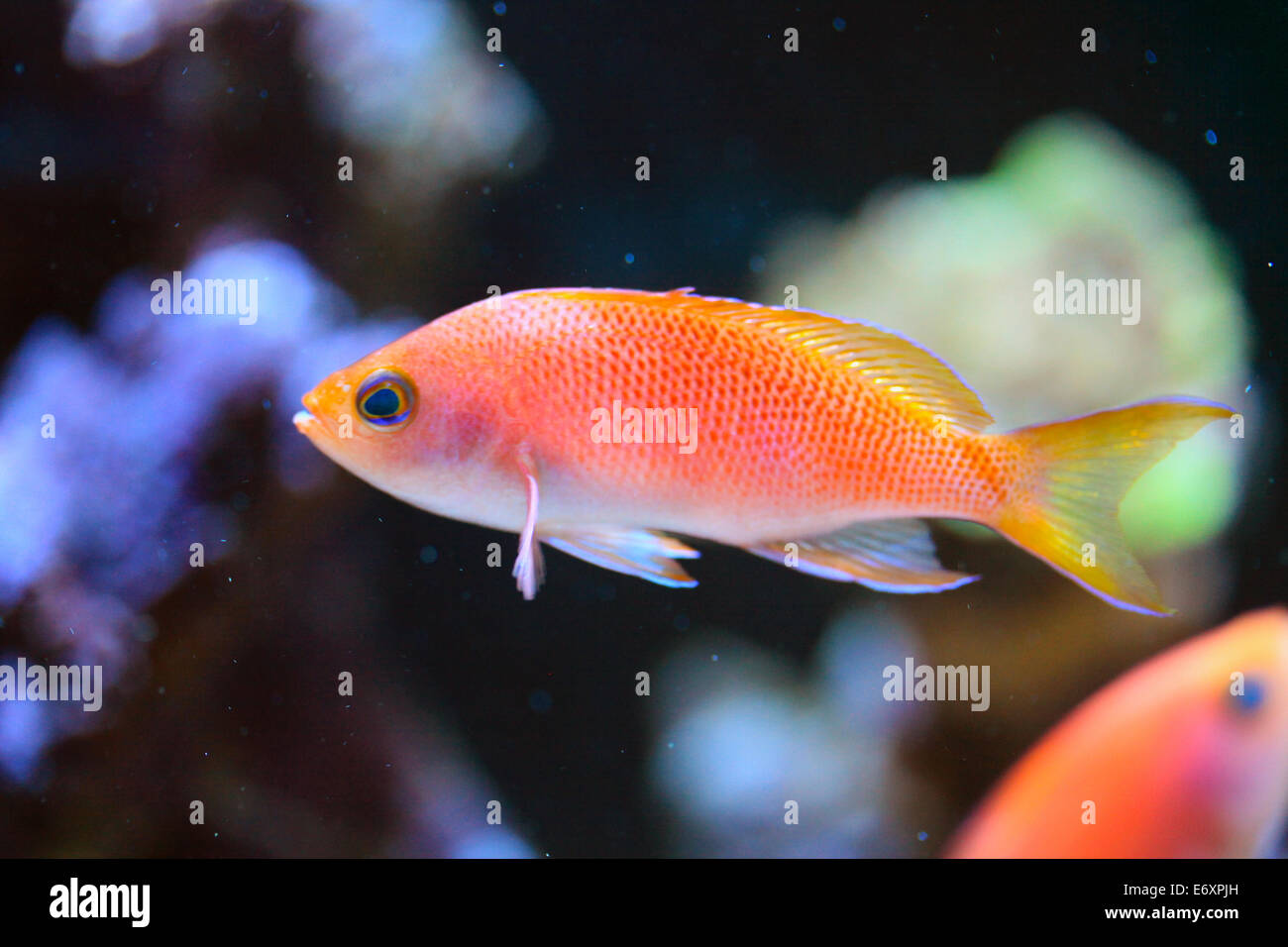 Resplendent Anthias Female - Stock Image