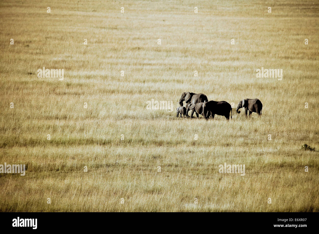 A group of elephants in the Masai Mara, Kenya, Africa - Stock Image