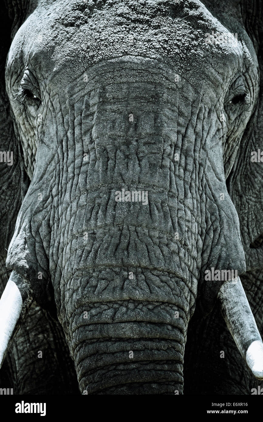 Head of an elephant, Close up, Kenya, Africa - Stock Image