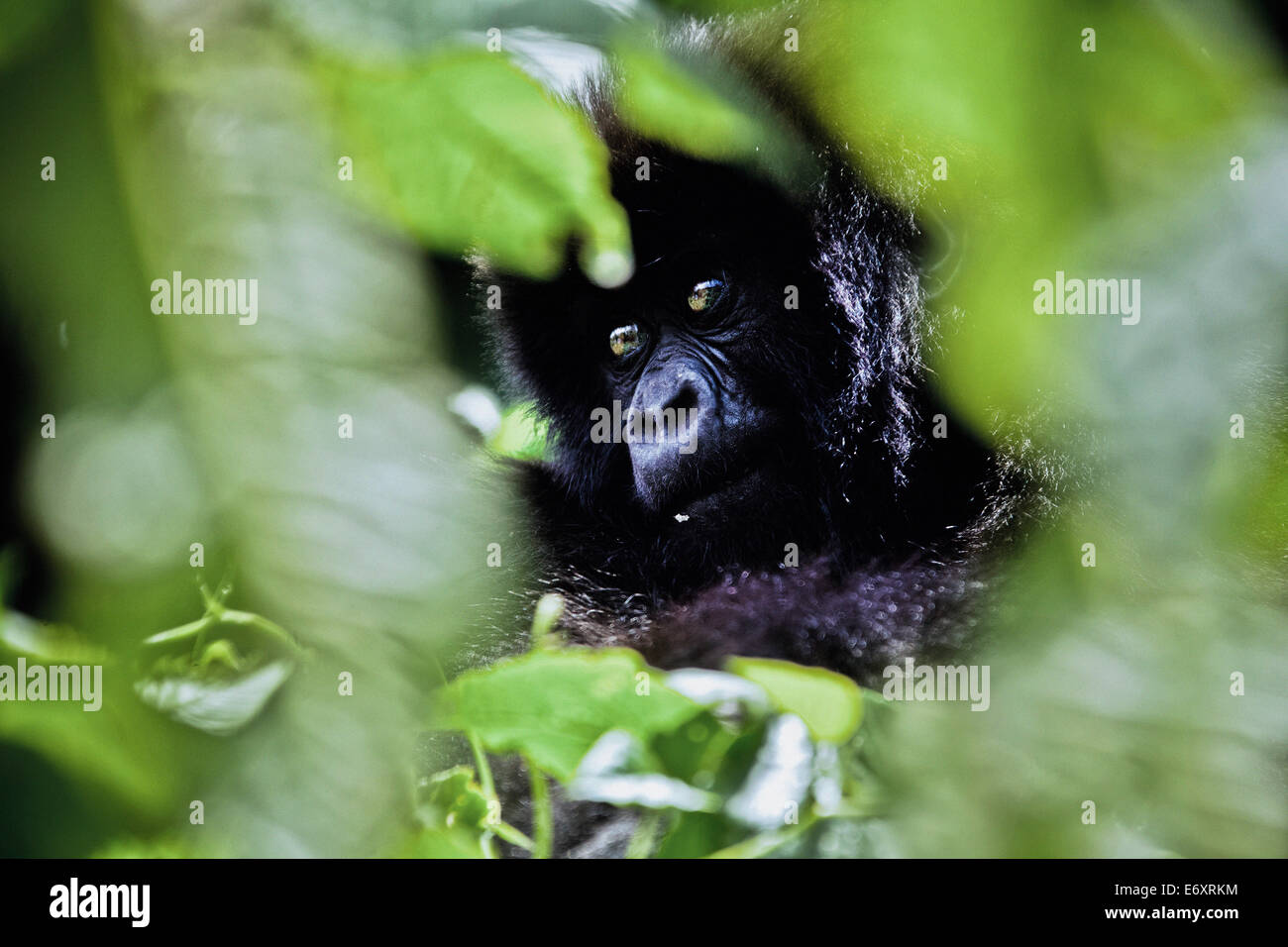Young mountain gorilla hidden by green leaves, Volcanoes National Park, Ruanda, Africa - Stock Image