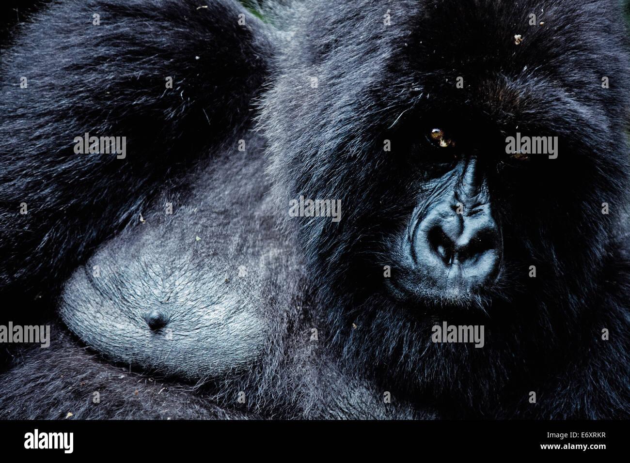 Mountain gorilla in Volcanoes National Park, Ruanda, Africa Stock Photo
