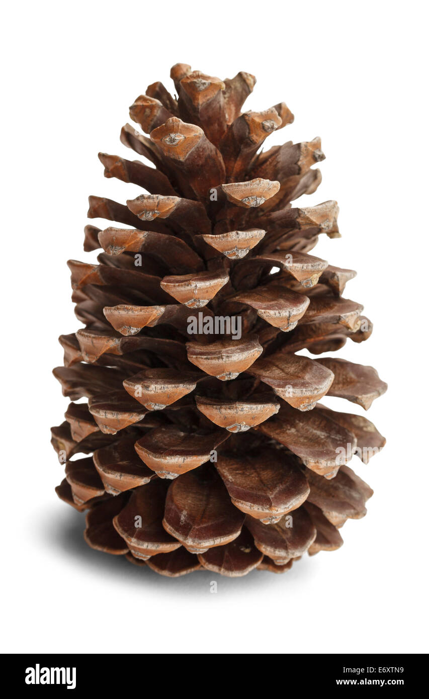 Brown pine cone isolated on white background. - Stock Image