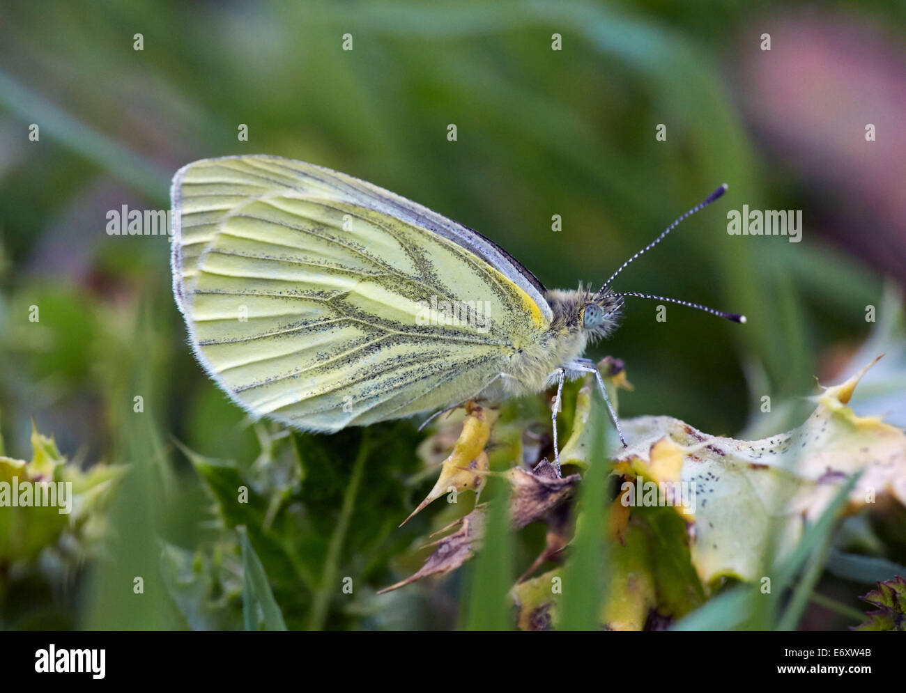 Green-veined White butterfly (female). Blackstone Bottom, near Alfriston, Sussex, England. - Stock Image