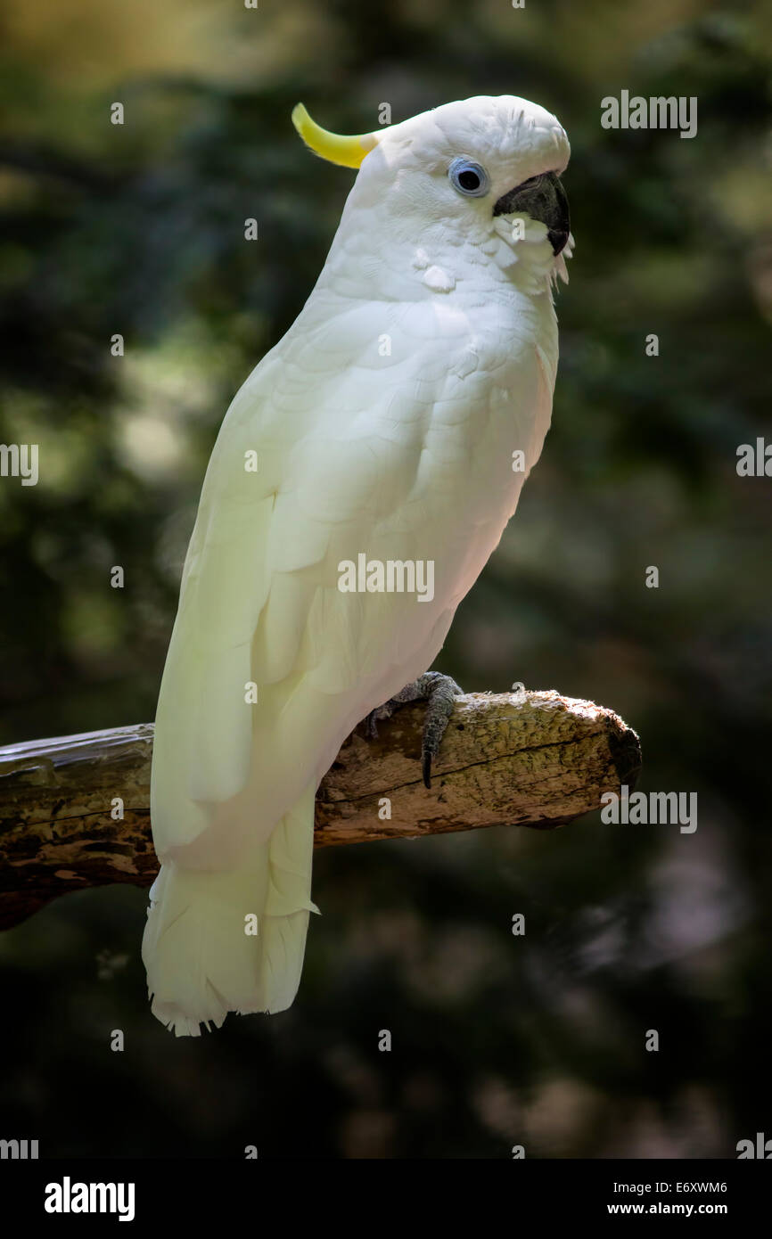 A full body view of a greater sulphur crested cockatoo sitting on a branch with it's head in profile. - Stock Image
