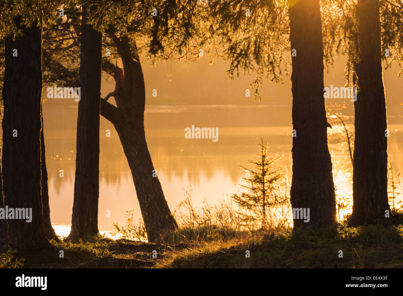 Lake in direct light with spruces in Gällivare, Lapland, Swedish lapland - Stock Image