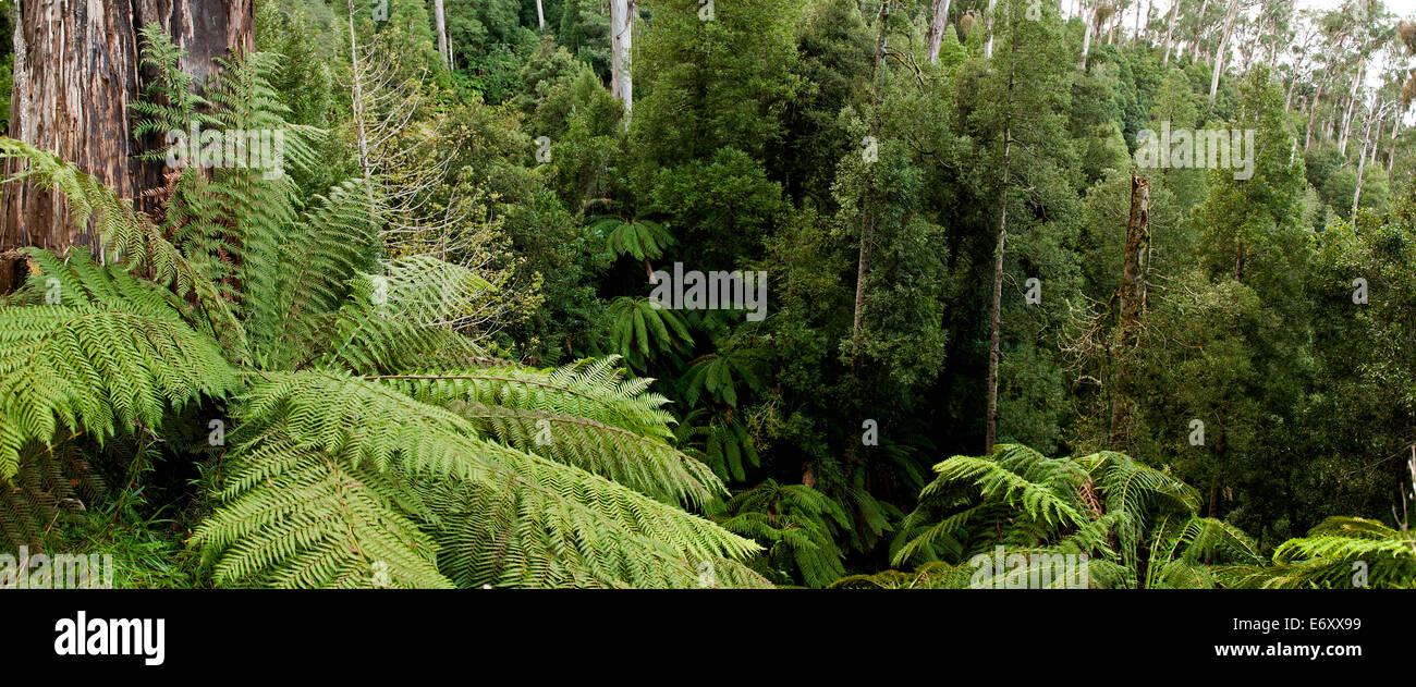 Cool temperate rainforest, Errinundra National Park, Victoria, Australia - Stock Image