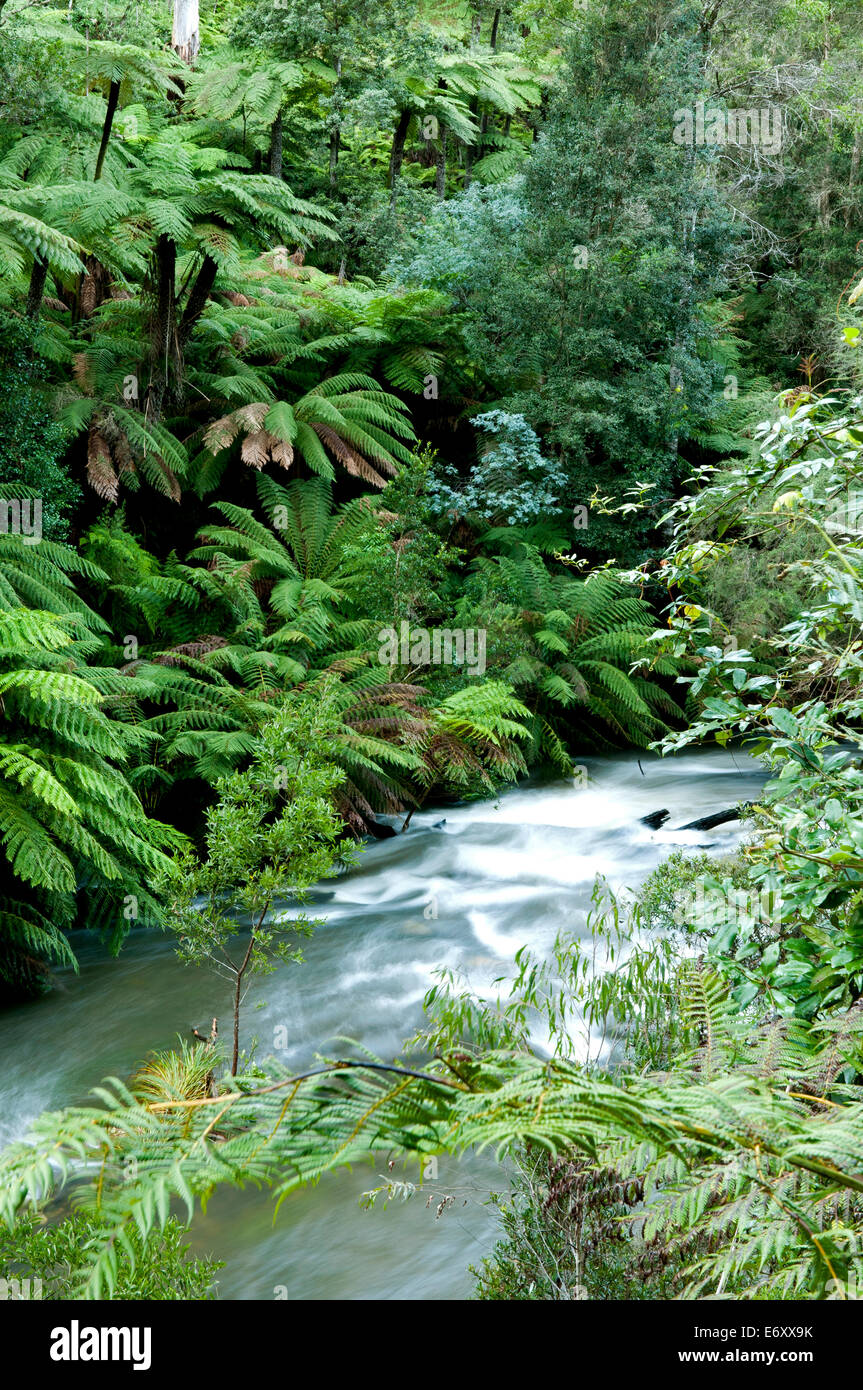 Cool temperate rainforest along the Errinindra River, Errinundra National Park, Victoria, Australia - Stock Image
