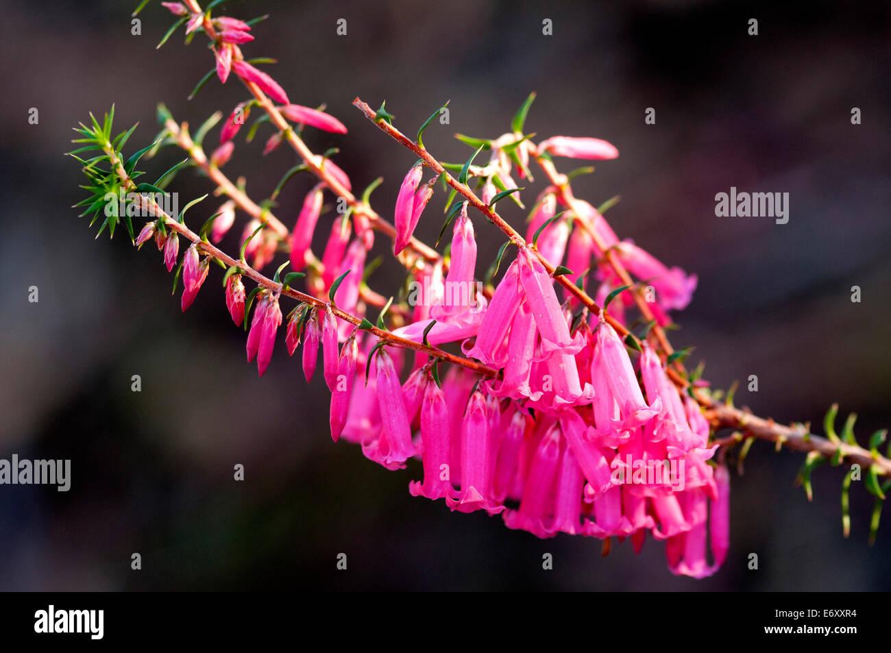 Flowering heath, Coobracambra National Park, Victoria, Australia - Stock Image