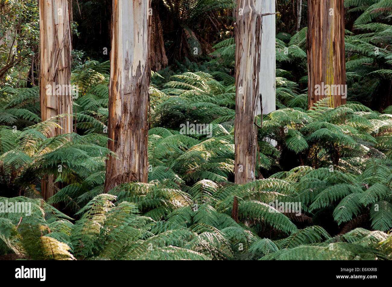 Large eucalypts in the Martins Creek Reserve, East Gippsland, Victoria, Australia - Stock Image