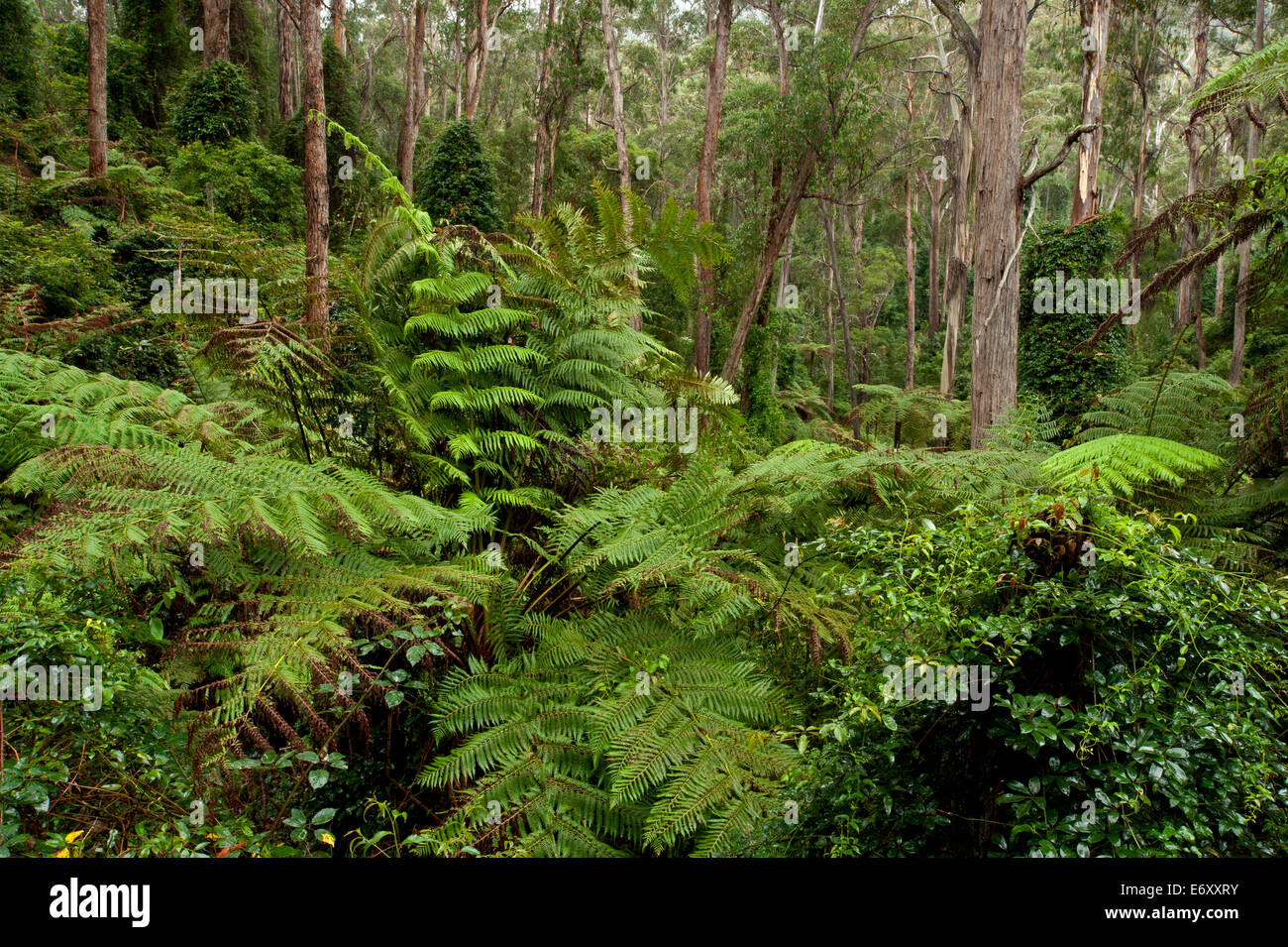 Lush forest in the Martins Creek Reserve, East Gippsland, Victoria, Australia - Stock Image