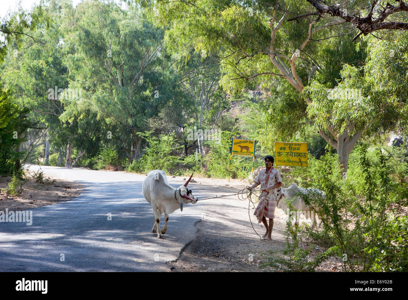 Hindu with his cebu cattle on the way to Ranakpur Temple, Ranakpur, Rajasthan, India - Stock Image