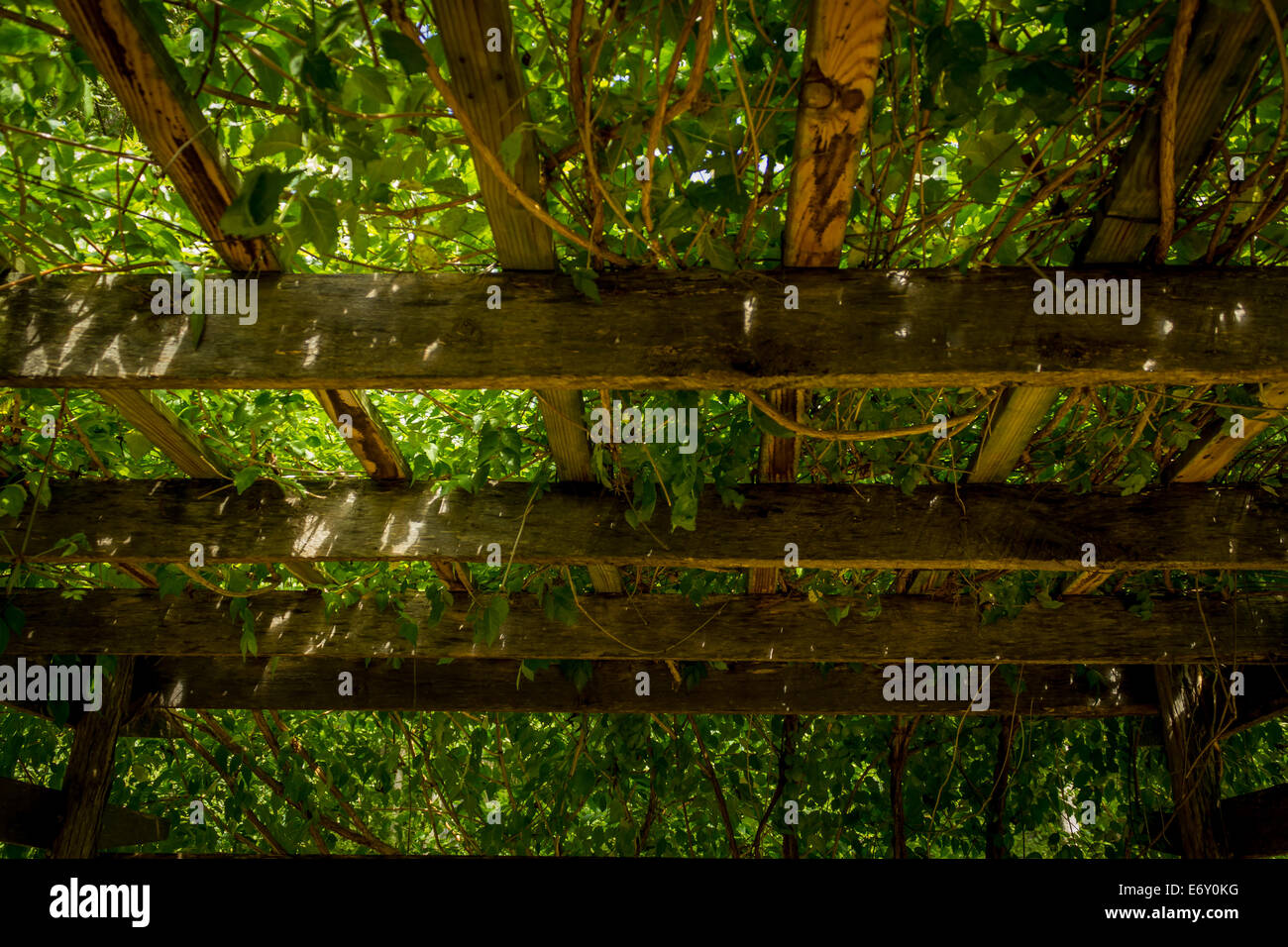 Cool shade provided by a vine-covered trellis on a hot summer day. - Stock Image