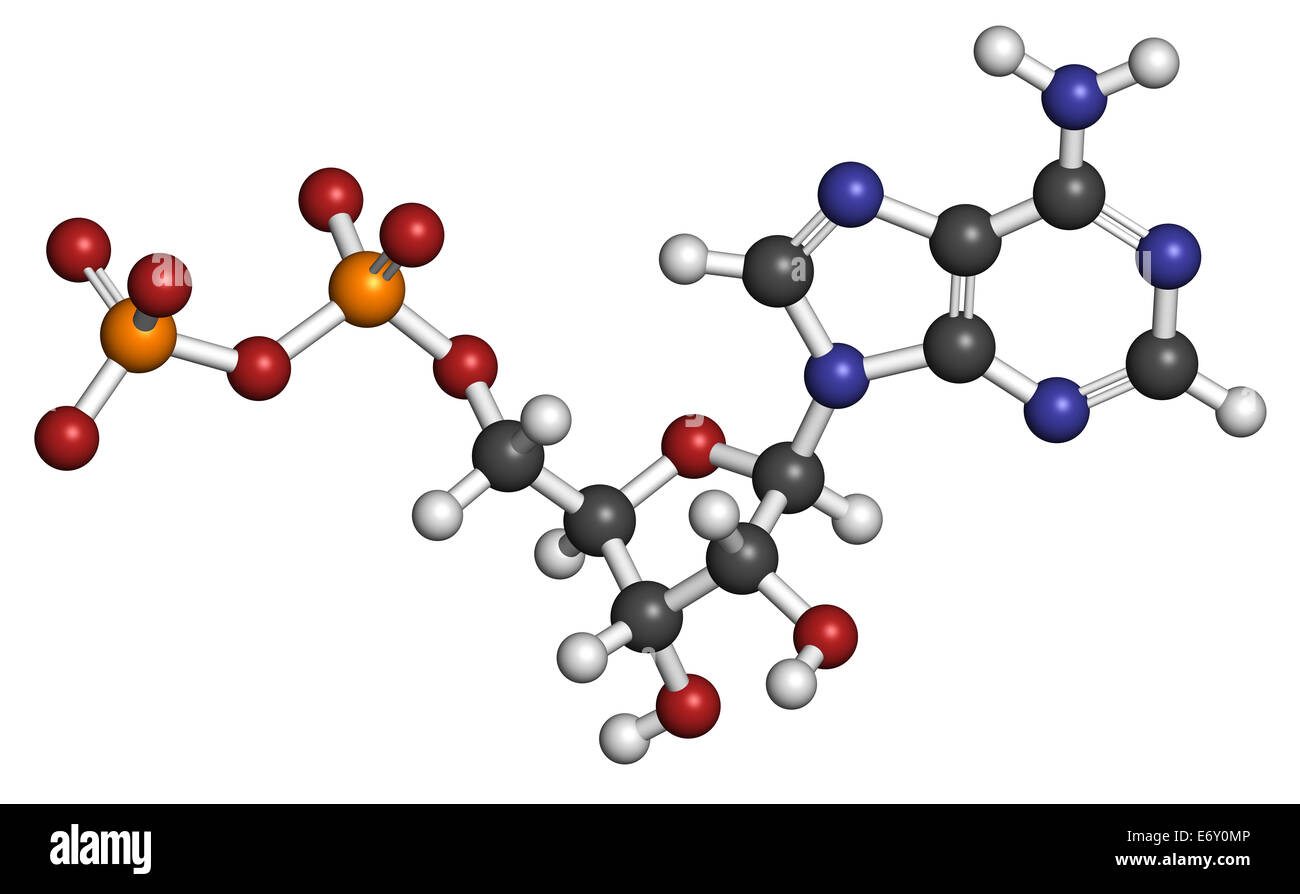 Adenosine diphosphate (ADP) molecule. Plays essential role in energy use and storage in the cell. Atoms are represented - Stock Image