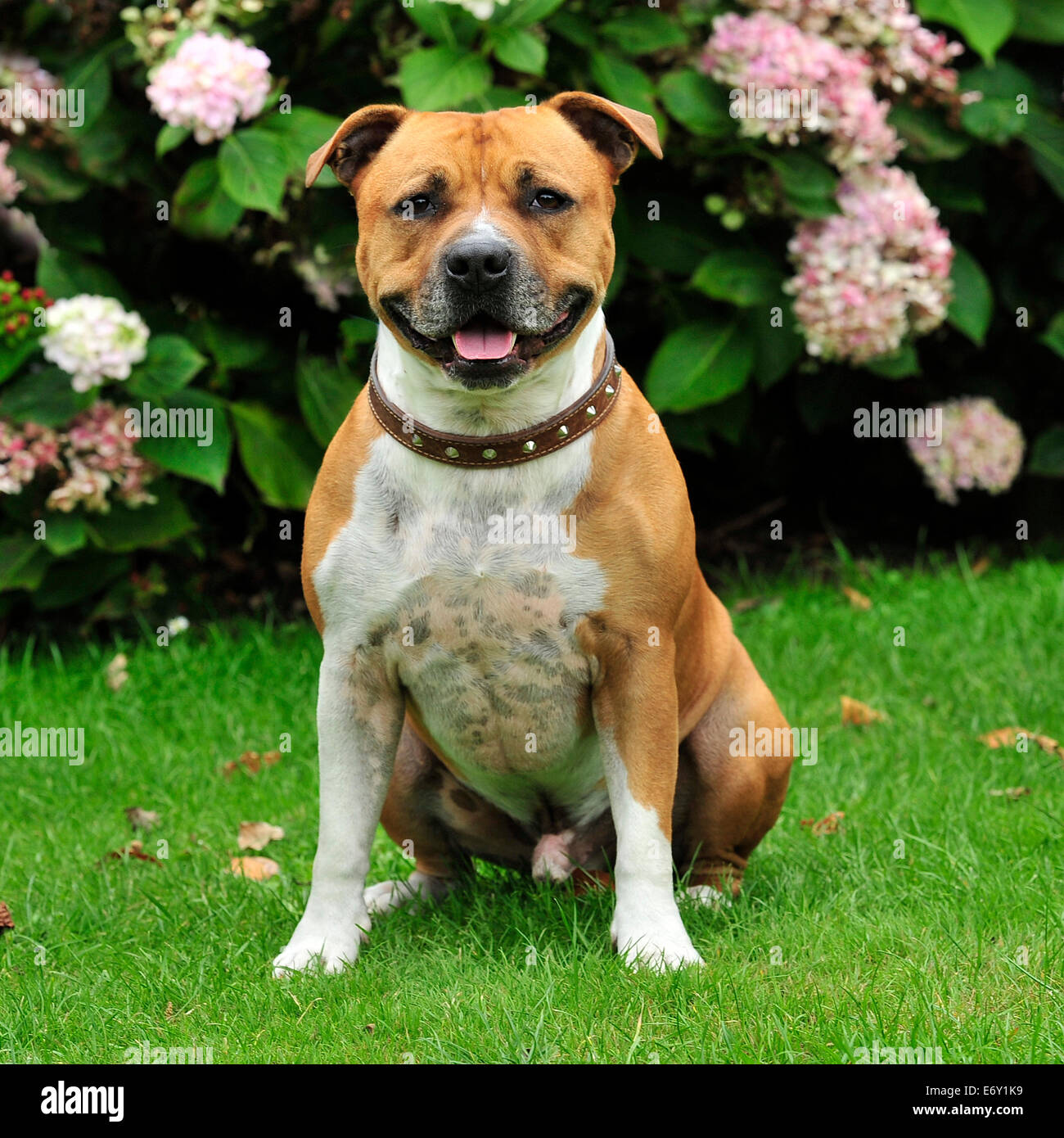 staffordshire bull terrier smiling and sitting - Stock Image
