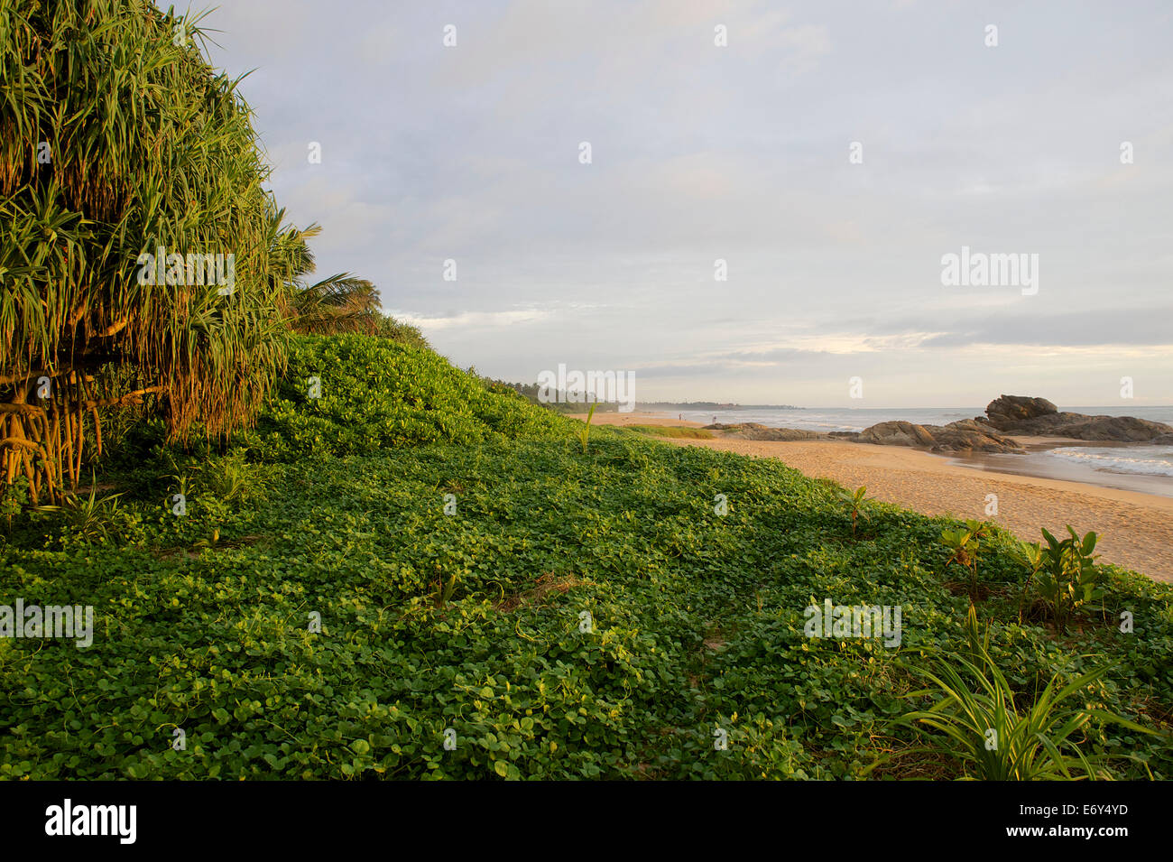 Long sandy beach fringed by tropical green and palm trees, Bentota, Southwest coast, Sri Lanka, South Asia - Stock Image