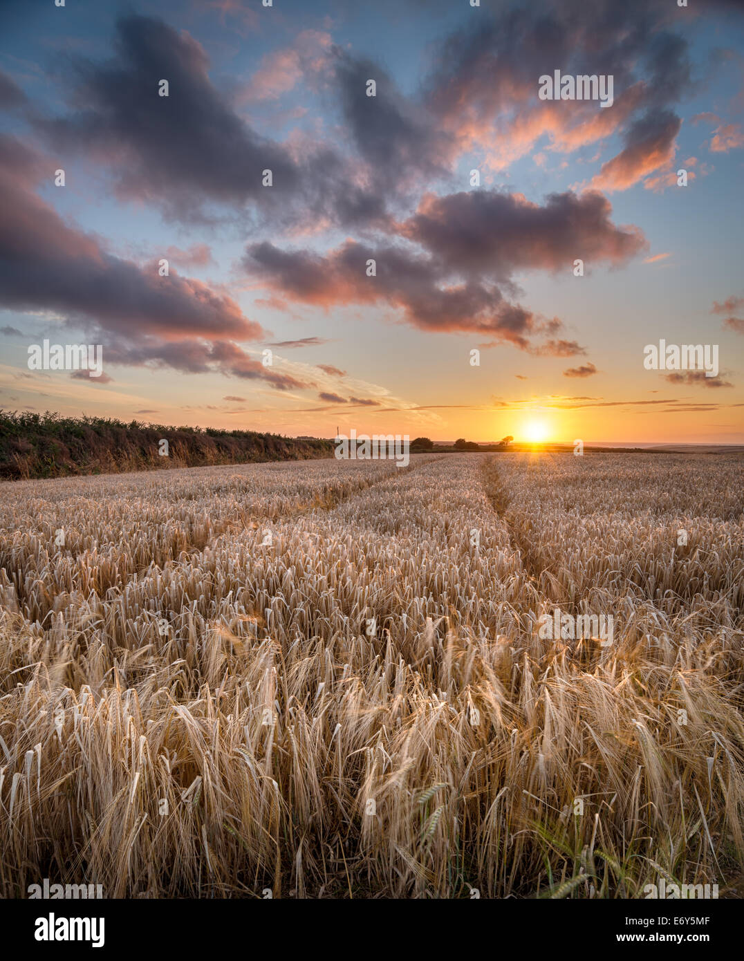 A barley field at sunset near Padstow in Cornwall - Stock Image