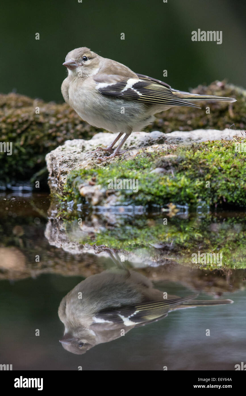 Adult female Chaffinch (Fringilla coelebs) at the edge of a pool - Stock Image