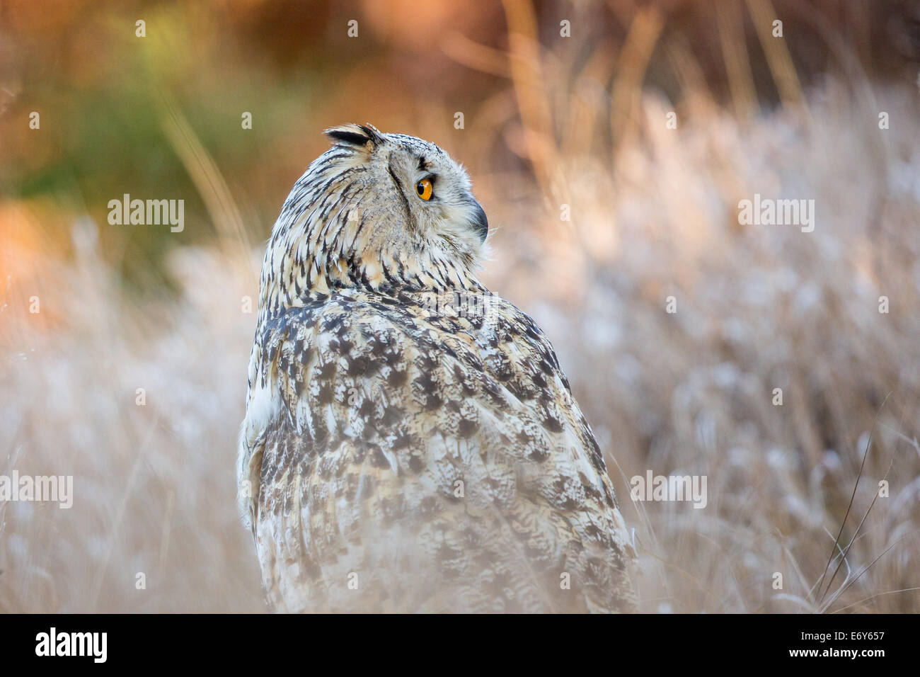 Siberean Eagle Owl (Bubo bubo sibiricus) in long grass (a sub-species of the Eurasian Eagle Owl Bubo Bubo) - Stock Image