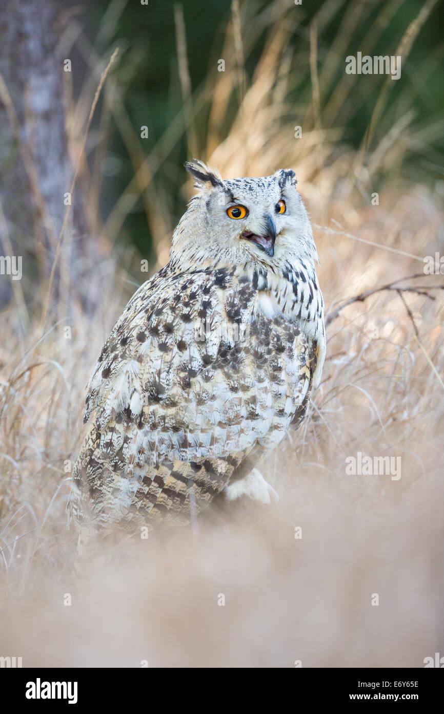 Siberean Eagle Owl (Bubo bubo sibiricus) in long grass, calling (a sub-species of the Eurasian Eagle Owl Bubo Bubo) - Stock Image