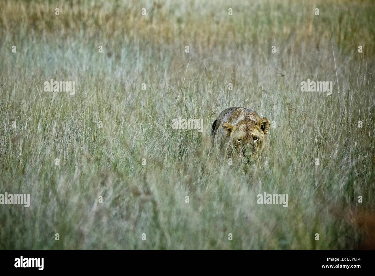 Lioness hiding in savannah grass, Okavango Delta, Botswana, Africa - Stock Image