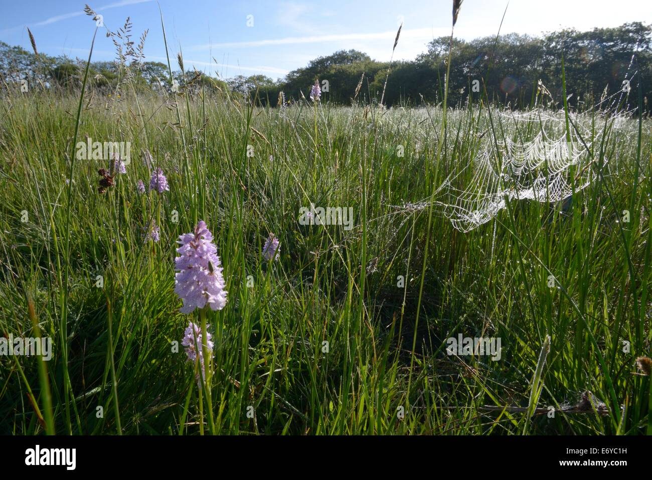 Orchids and spiders webs early morning at Dunsdon Nature Reserve Culm grassland site in north devon - Stock Image
