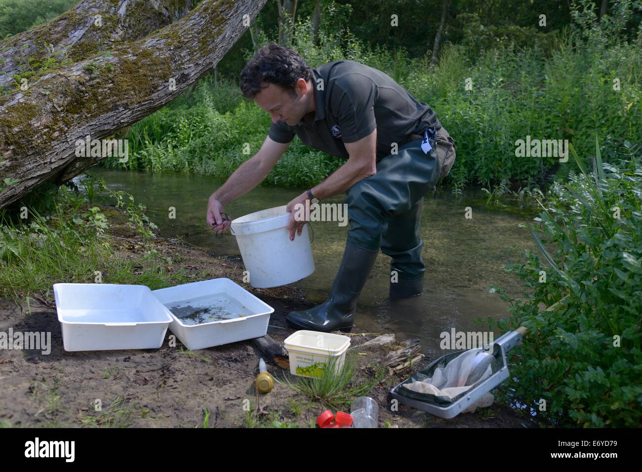 Gloucestershire Wildllife Trust worker invertebrate sampling research in the river windrush near bourton on the Stock Photo