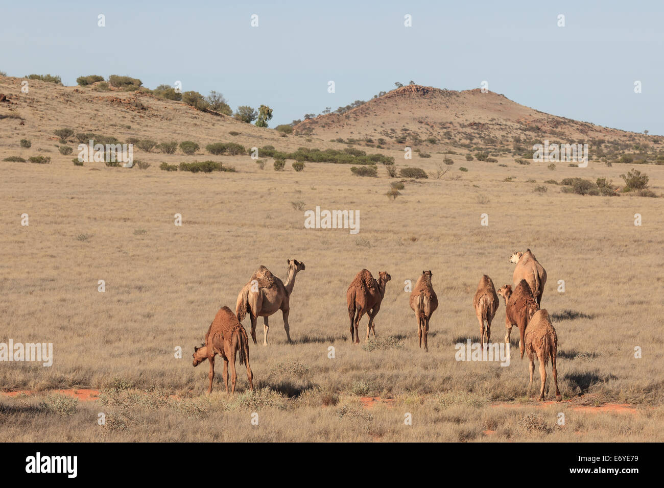 a herd of grazing camels on a gentle slope in the Outback of South Australia with in the background the peaks of - Stock Image