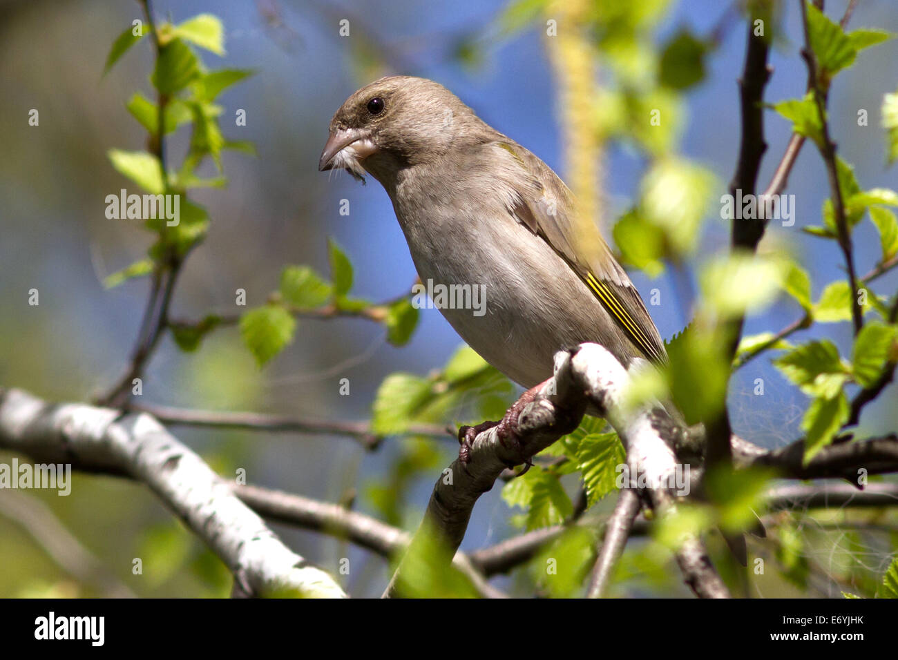 female greenfinches which holds in a beak feathers for nest building - Stock Image