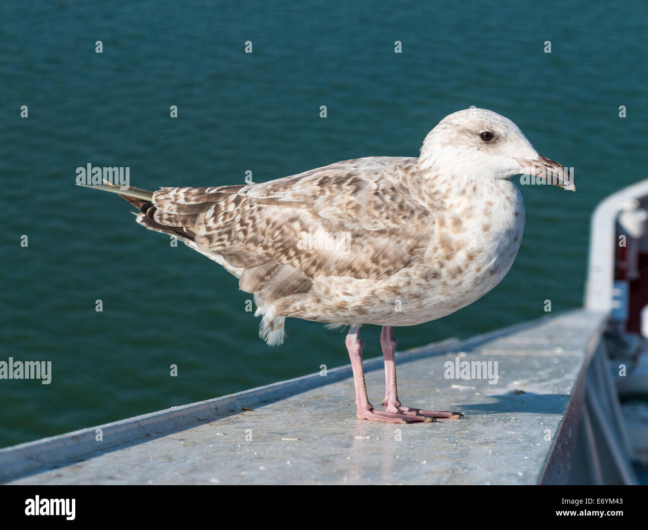 A juvenile Herring Gull (Larus argentatus) standing on a rail, with a background of the sea - Stock Image