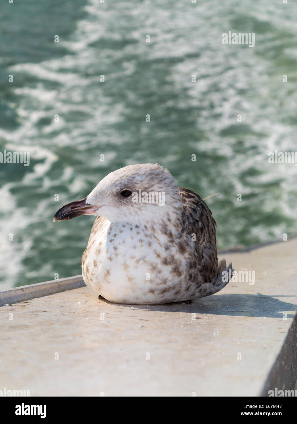 Juvenile Herring Gull in first winter plumage. - Stock Image