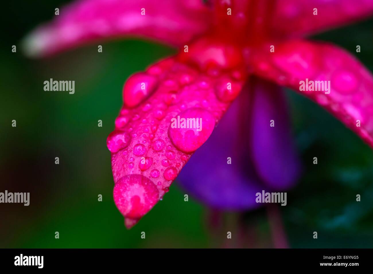 Summer rain drops on Garden plant Fushia purple and red flower - Stock Image