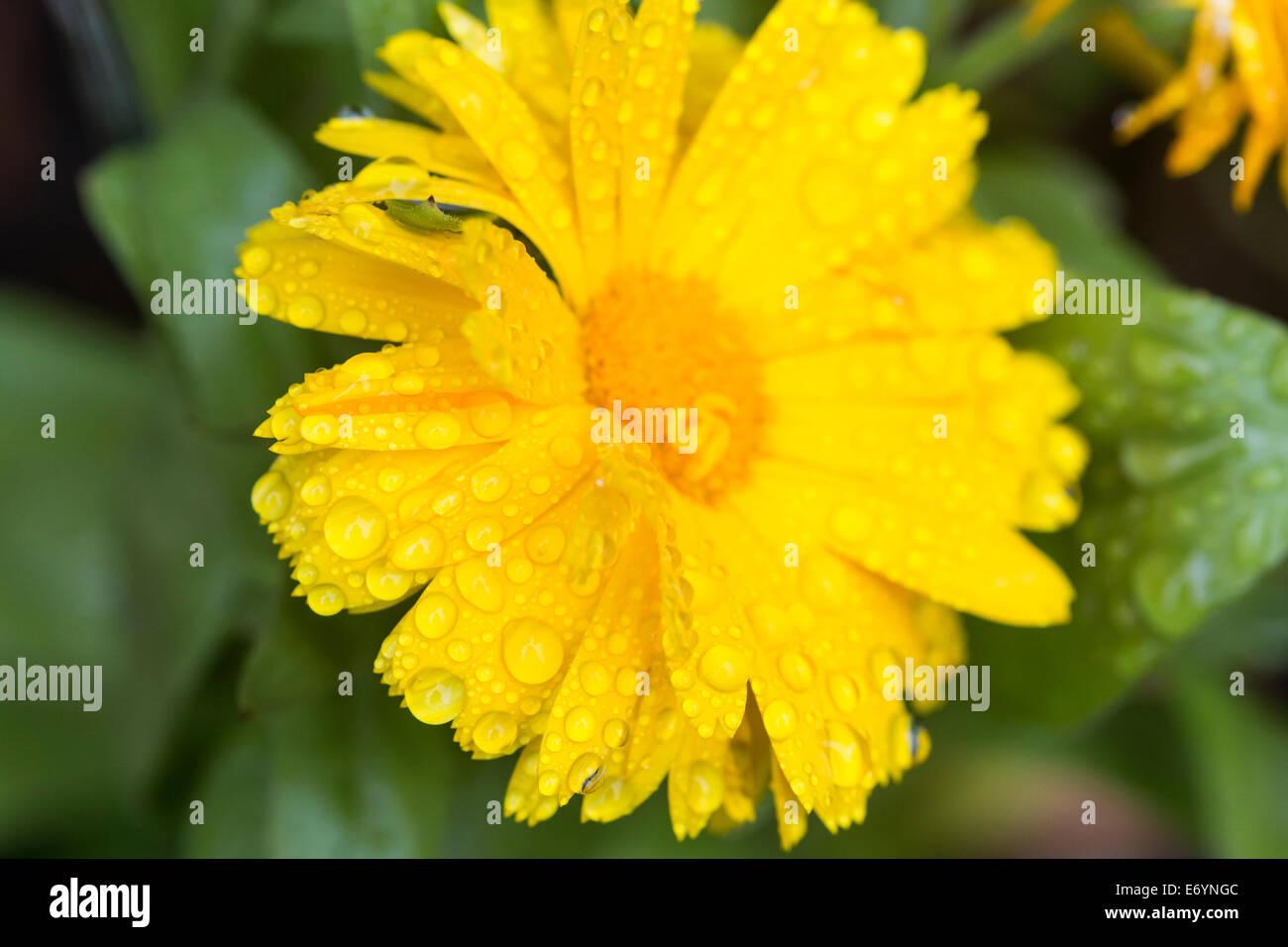 Summer rain drops on a Garden plant Marigold yellow flower - Stock Image