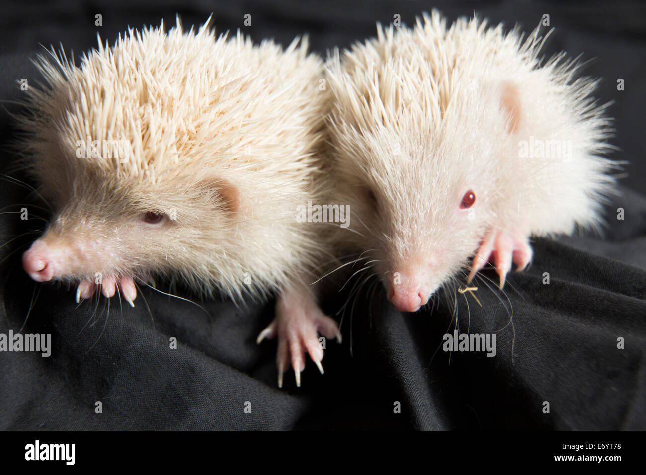 Brother and sister, 'Yang and Johney' are unusual being orphaned Albino hedgehogs. - Stock Image