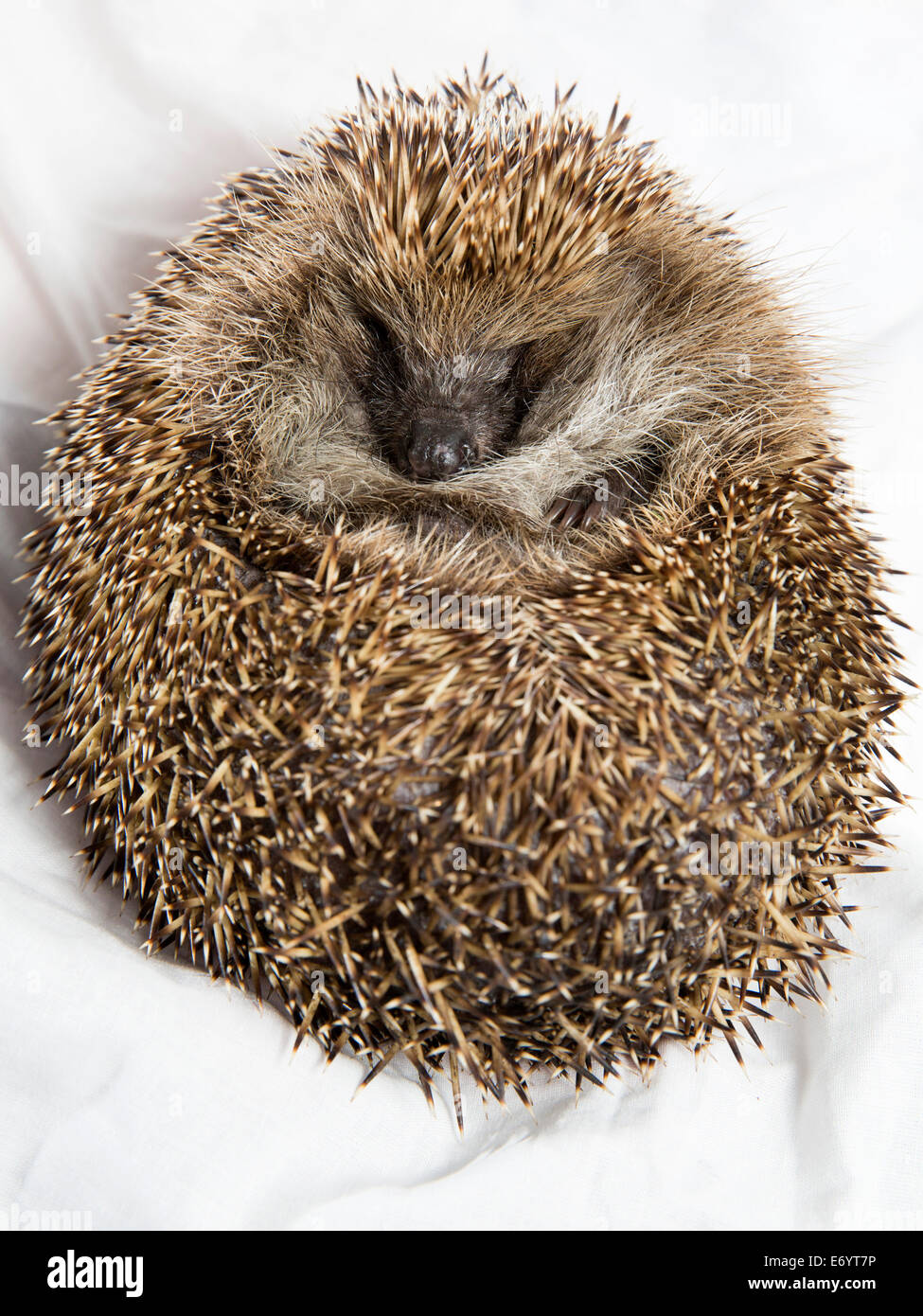 Quack, an overweight hedgehog. - Stock Image