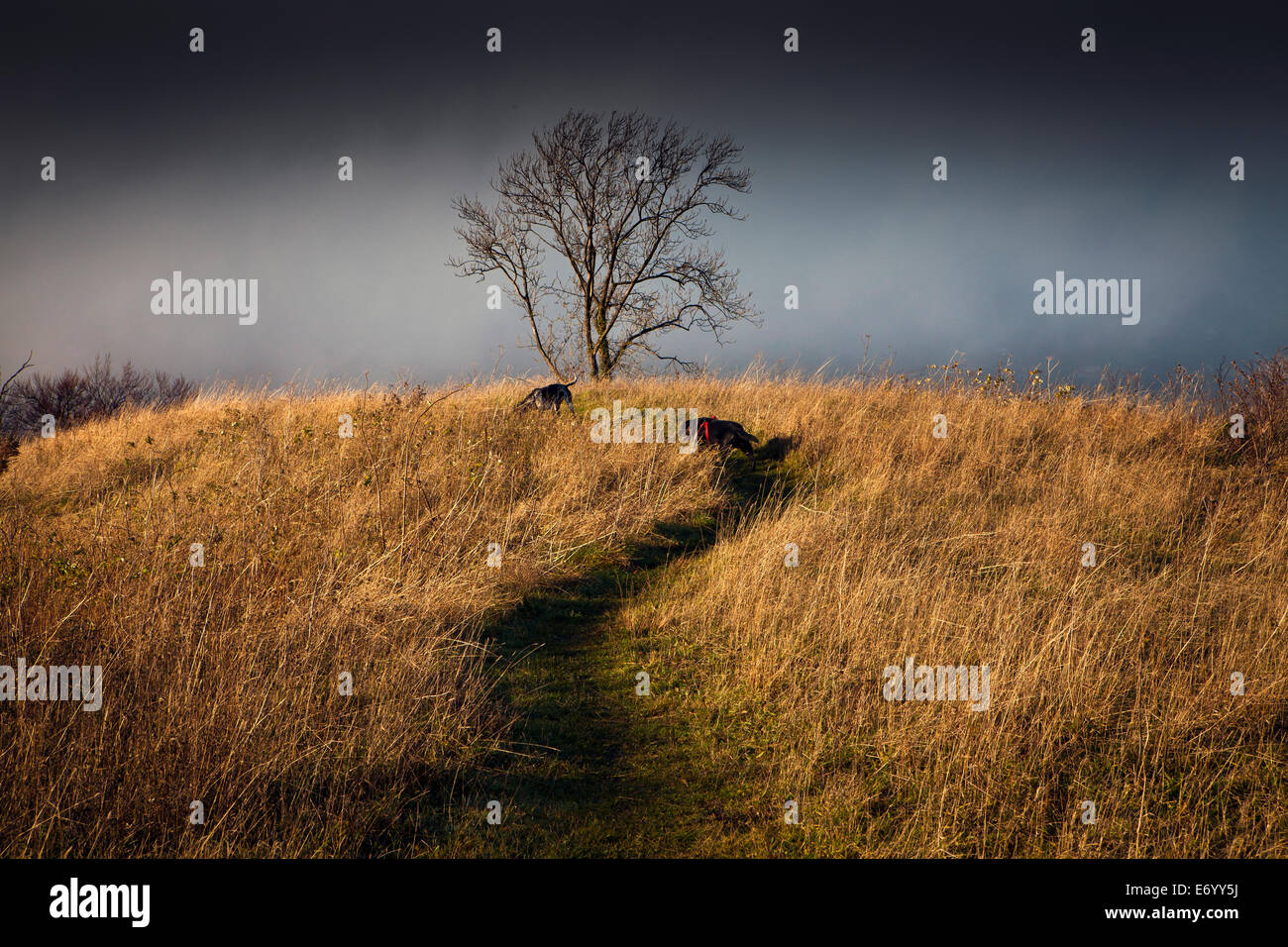 Dog walking in the Chiltern Hills - Stock Image