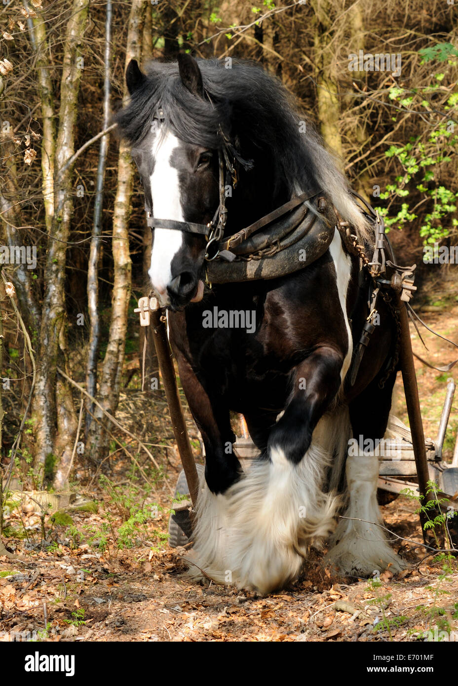 black and whit gypsy cob pulling timber up a hill using a forwarder Stock Photo