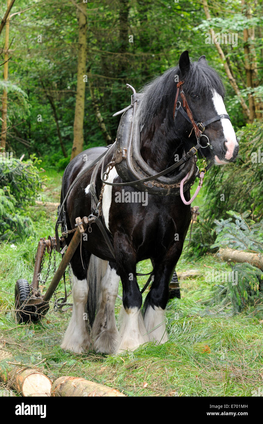 a black and white gypsy cob pulling timber using a forwarder Stock Photo