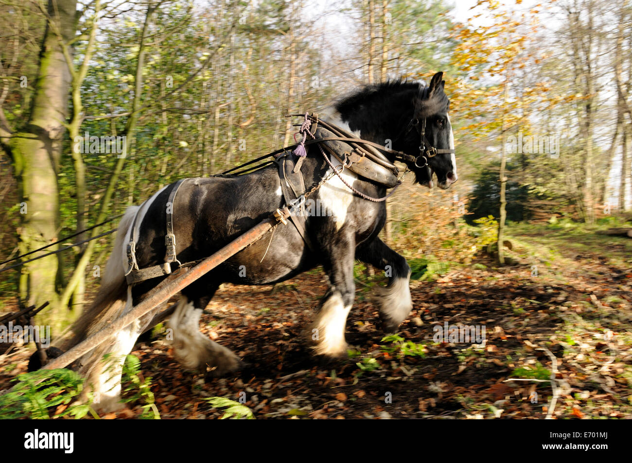 a black and white gypsy cob pulling timber up hill using a forwarder Stock Photo