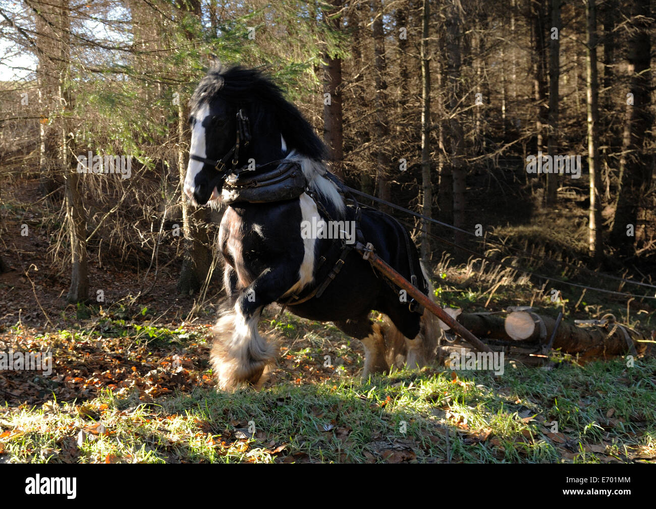 a black and white gypsy cob pulling timber at a gallop Stock Photo