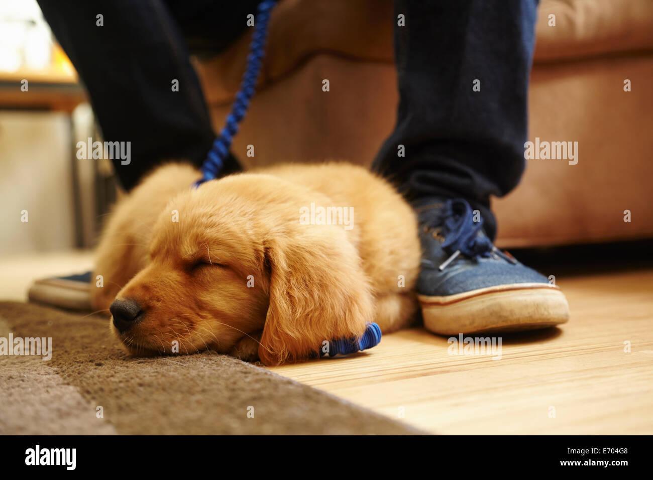 Labrador puppy asleep at feet - Stock Image