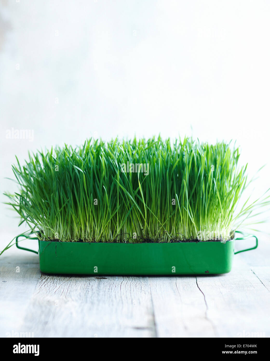 Wheatgrass growing in small container - Stock Image