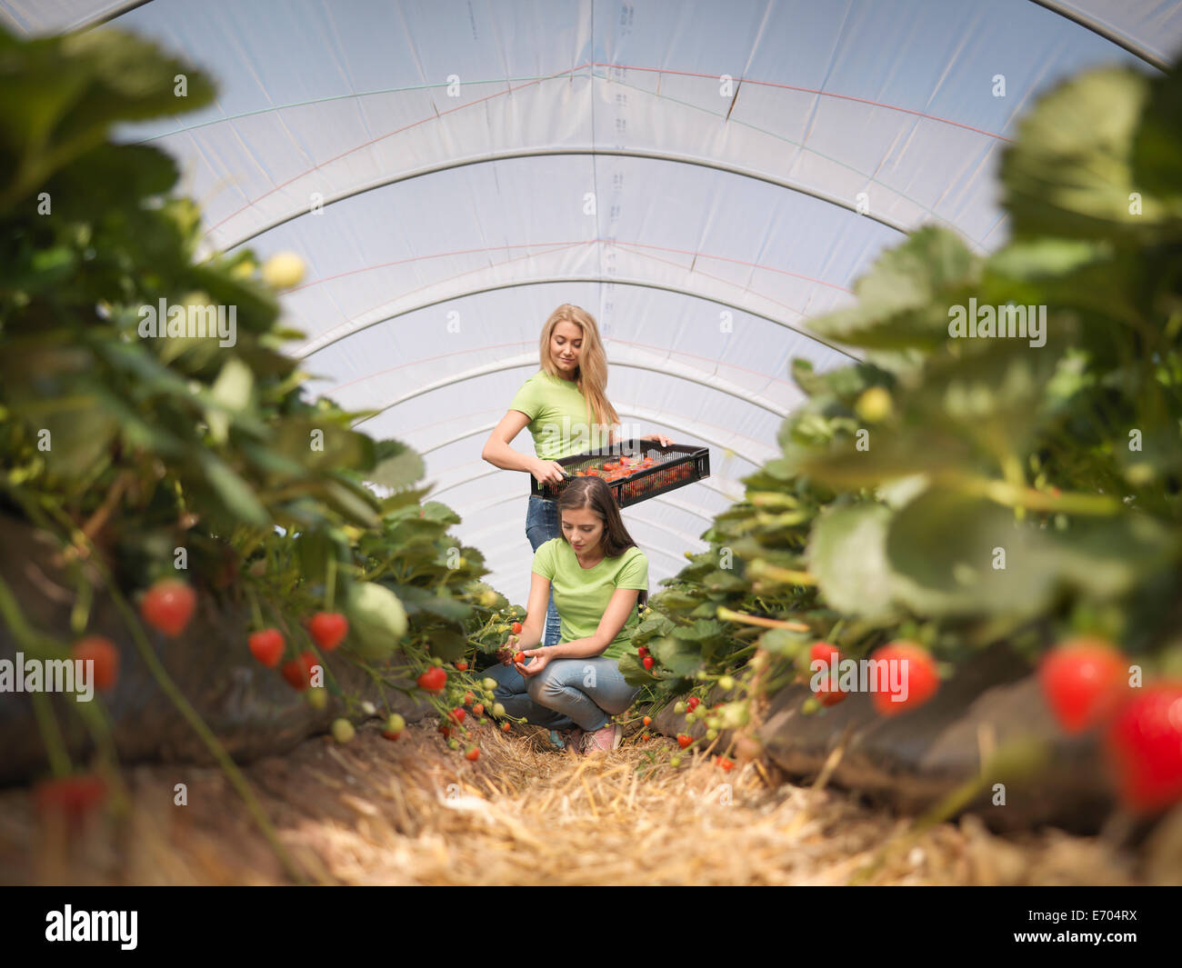 Workers picking strawberries in fruit farm - Stock Image