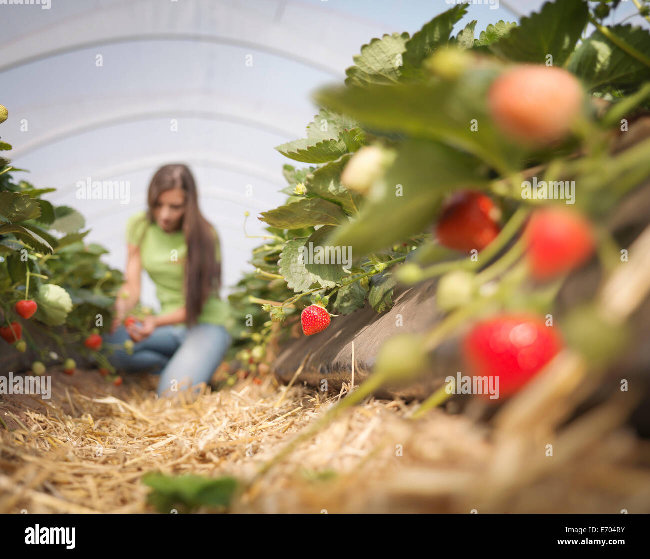 Worker picking strawberries in fruit farm - Stock Image