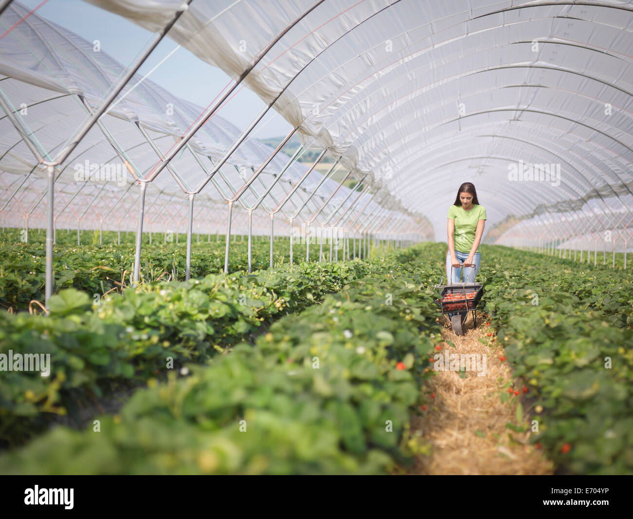 Worker pushing wheelbarrow of strawberries in fruit farm - Stock Image