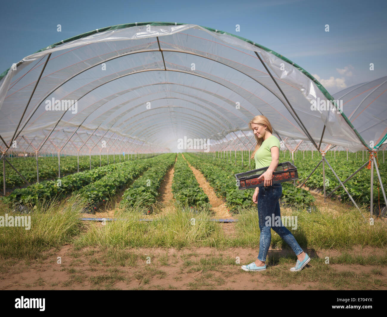 Strawberry picker walking past polytunnel on fruit farm - Stock Image
