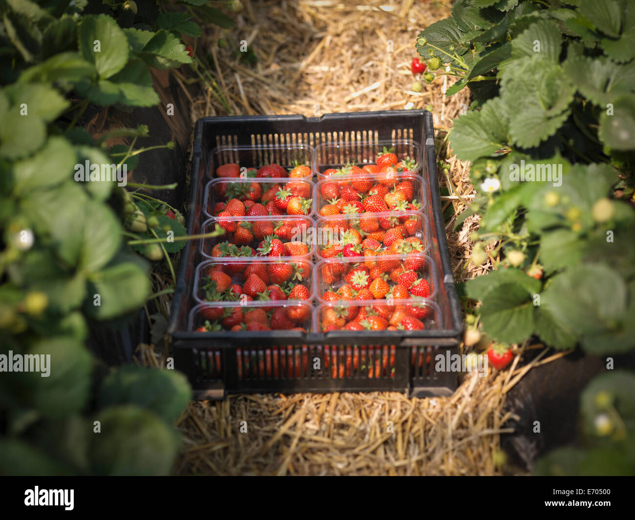 Tray of freshly picked strawberries in punnets on fruit farm - Stock Image