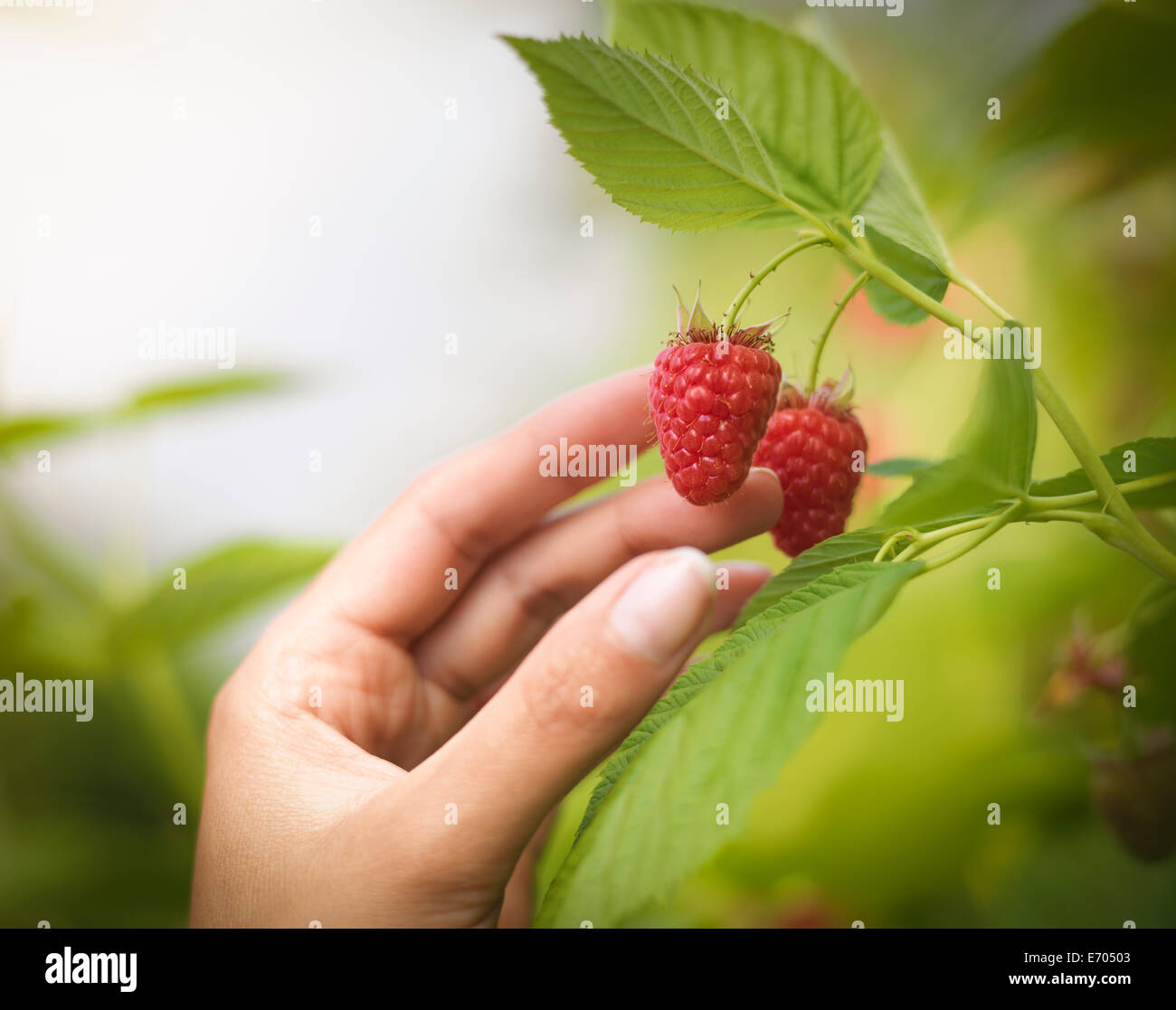 Hand picking raspberries in fruit farm, close up - Stock Image