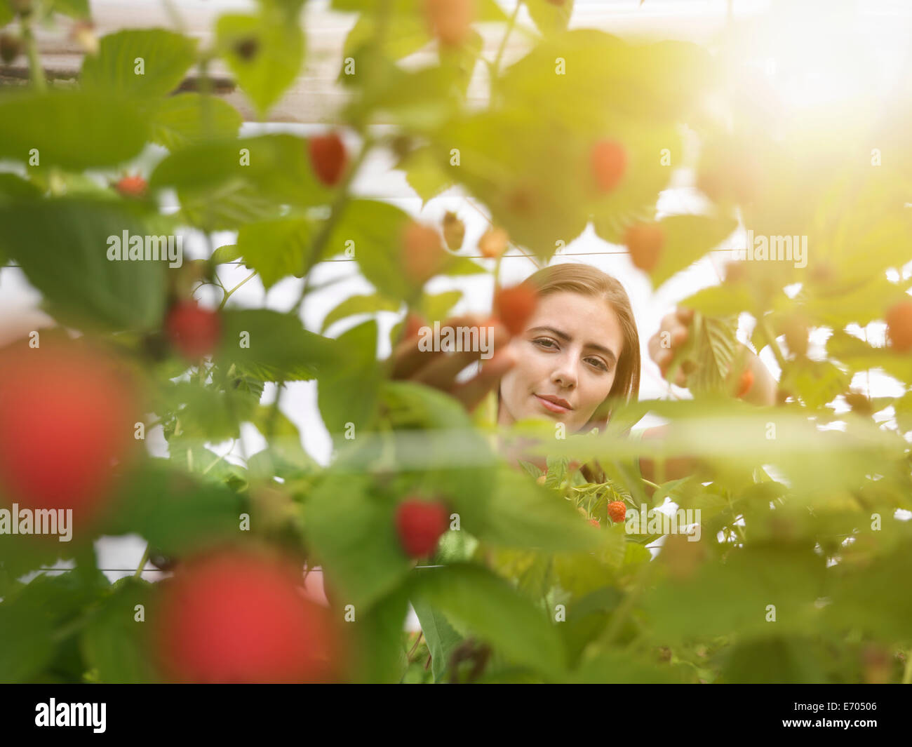 Worker picking raspberries in fruit farm - Stock Image